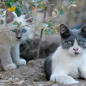 feral-kittens-gray-white